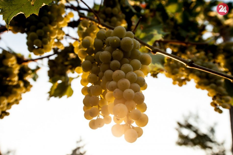 Krásne víno vzniká z lásky