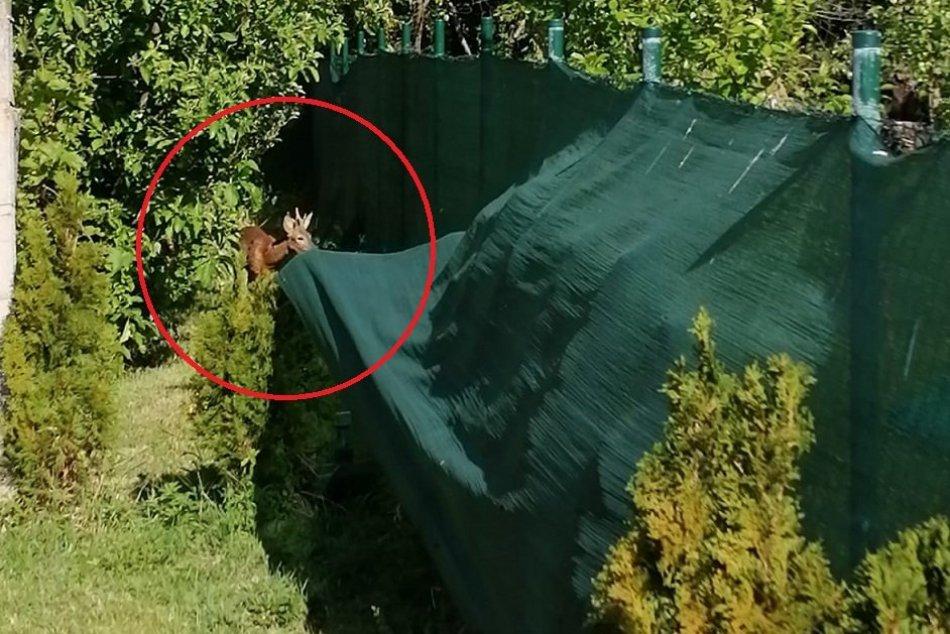 V záhrade rodinného domu pobehoval srnec: Zatúlané zviera museli uspať