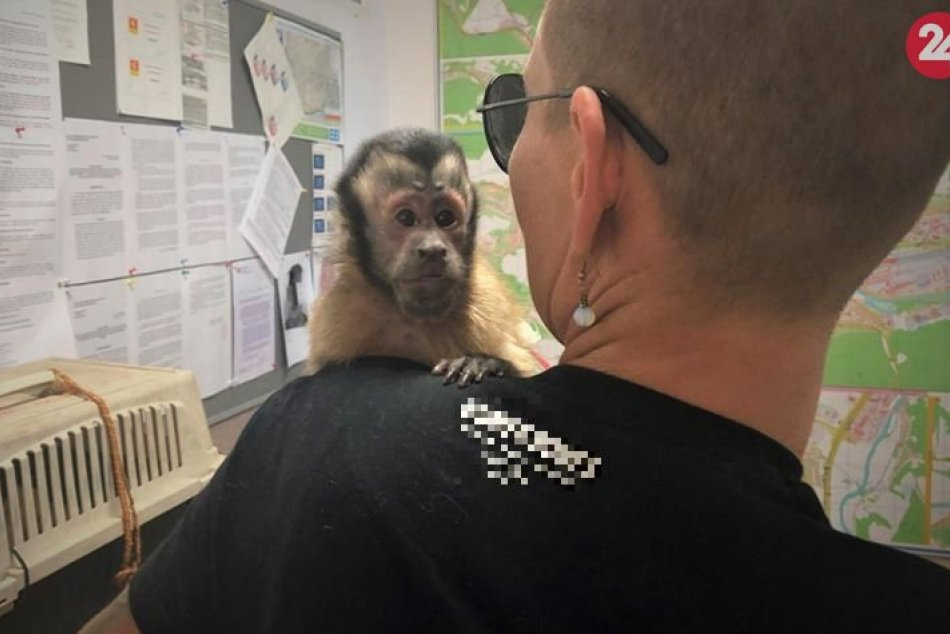 V OBRAZOCH: Stratená opička sa v Bystrici vrátila majiteľke