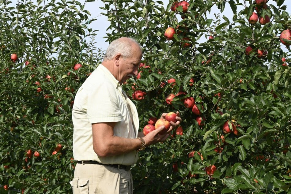 OBRAZOM: Samozber jabĺk v Ostraticiach