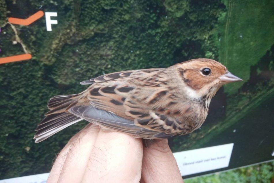 Obrazom: Raritný vtáčí druh na ornitologickom stacionári v Slovenskom krase