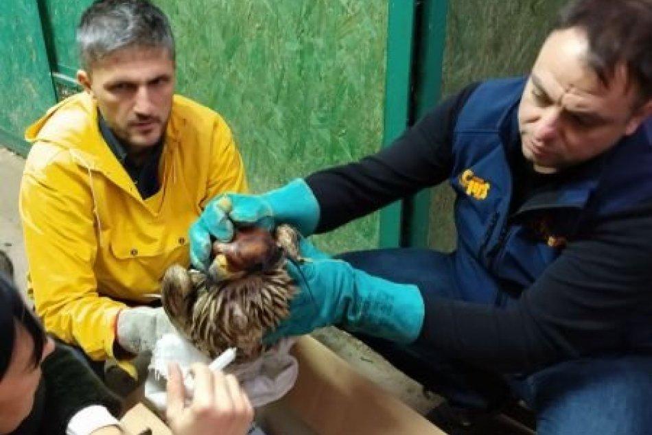 Záchrana orla kráľovského z Tribeča v Srbsku