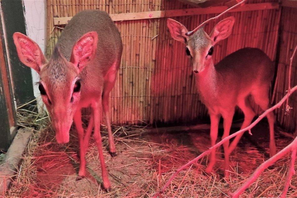 FOTO: V zoo Bojnice sa narodil samec dikdika Kirkovho, ktorý dostal meno Upa