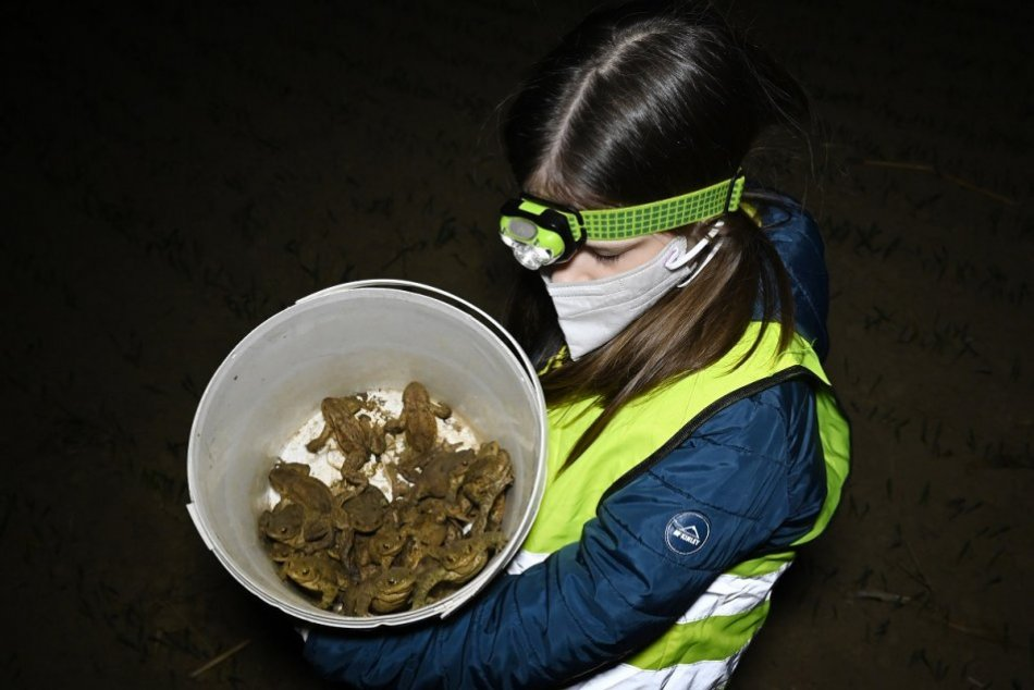 OBRAZOM: Prenášanie migrujúcich žiab v Skalke nad Váhom