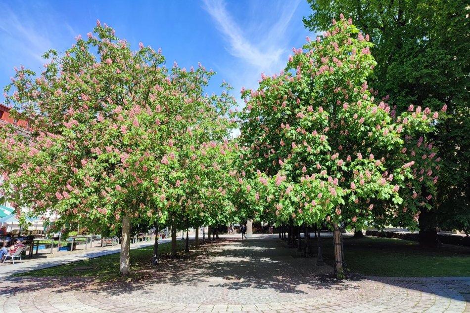 V OBRAZOCH: V Bystrici krásne rozkvitli aleje aj stromoradia