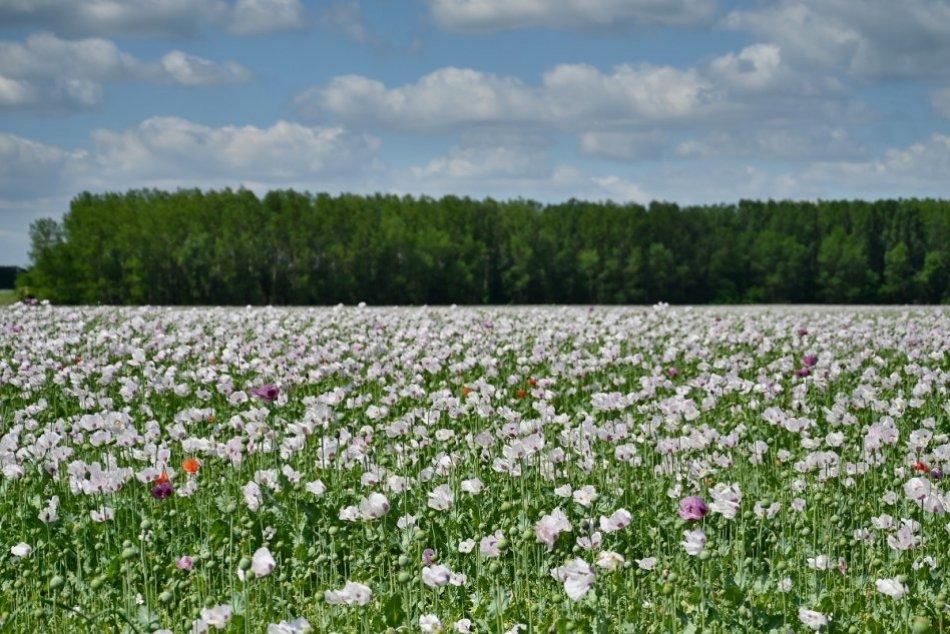 Raj pre fotografov: Neďaleko Trnavy rozkvitlo makové pole, FOTO