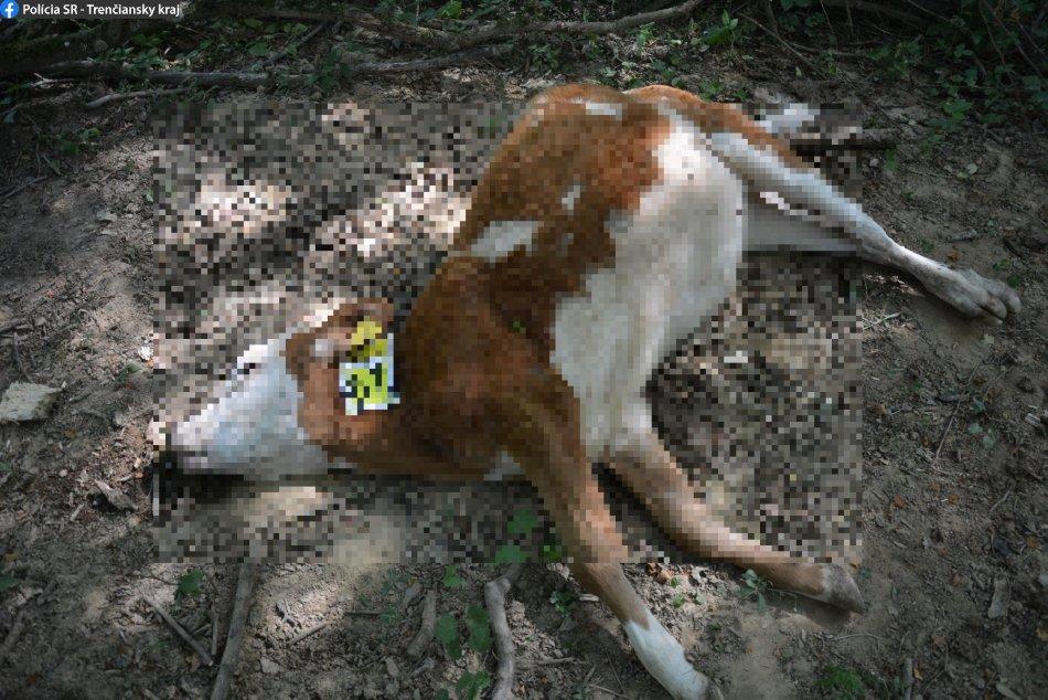 FOTO: Na lúkach v obci Bolešov uhynulo 67 kusov hovädzieho dobytka